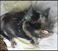 BNPS.co.uk (01202 558833)<br /> Pic: RSPCA/BNPS<br /> <br /> ***Please Use Full Byline***<br /> <br /> Mr Pig after being put down. <br /> <br /> The owner of one of world's oldest pigs has been controversially prosecuted by the RSPCA because he couldn't bring himself to have his beloved pet put down when it fell ill.