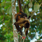Central American spider monkey and infant, Panama