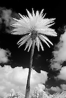 An infared image of a towering palm tree near Diamond Head in Hawaii.