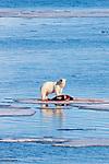 Polar Bear, Svalbard, Norway, Europe