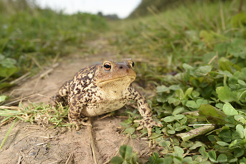 Common Toad - Bufo bufo