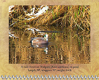 "July of the 2012 Birds of a Feather Calendar.  This photo is called ""American Widgeon on winter pond"" that is a male American Widgeon (Anas americana) is on a pond with wave reflections of the dry grass and snow on the bank.  The color of the widgeon is nicely mirrored with the colors of the grass and snow."