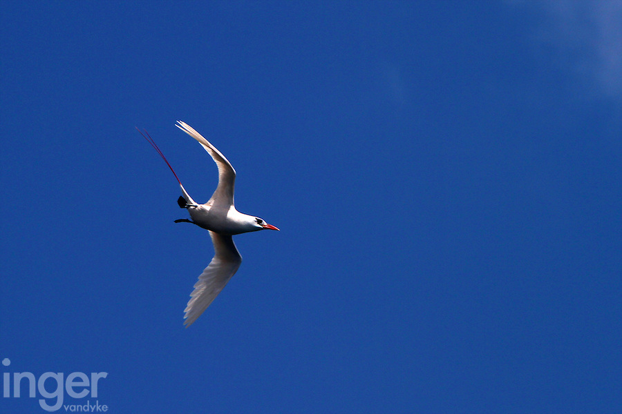 Red-tailed Tropicbird, Christmas Island, Indian Ocean