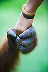 Orangutan male holding hands with young man, close-up, (Pongo pygmaeus), endangered species due to loss of habitat, spread of oil palm plantations, Tanjung Puting National Park, Borneo, East Kalimantan,