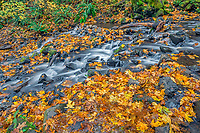 ORCG_D234 - USA, Oregon, Columbia River Gorge National Scenic Area, Starvation Creek State Park, Starvation Creek in autumn with fallen maple leaves, dark volcanic rocks, moss and ferns.