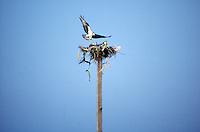 ANIMALS<br /> Osprey family - in nest atop pole<br /> Pandion haliaetus<br /> Duck, NC