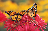 MONARCH BUTTERFLIES (Danaus plexippus)..Feeding on Gerbera Daisy (Gerbera jamesonii)..North America.
