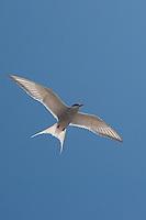 Küsten-Seeschwalbe, Küstenseeschwalbe, im Flug, Flugbild, fliegend, Seeschwalbe, Sterna paradisaea, Arctic tern