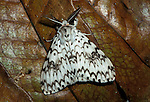 Moth, sp. unknown, Sabah Borneo, mottled pattern white & brown.Borneo....