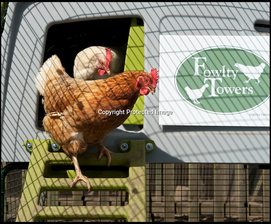 BNPS.co.uk (01202 558833)<br /> Pic: PhilYeomans/BNPS<br /> <br /> Pampered hens emerge from their Eglu coops.<br /> <br /> Fowlty Towers - Egg-ceptional new hotel for hens.<br /> <br /> The boom in hen keeping across Britain has led a canny Kent lady to spotting a gap in the market for a deluxe hotel for punters beloved poultry whilst they jet off on their summer hols. <br /> <br /> Julie Smith from Cowden is inundated with requests for 'rooms' at 'Fowlty Towers', with customers booking months in advance to secure a spot for their prized birds. <br /> <br /> Julie's all-inclusive resort costs a poultry £7 a night for each run, with round the cluck service including all food and drink.