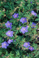 Geranium 'Johnson's Blue' perennial hardy plant with blue flowers, newly delisted from AGM