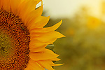 Close-Up of Fresh sunflower blooming. Photo by Sanad Ltefa