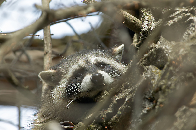 Raccoon in cotonwood tree. Lower Klamath Lake National Wildlife Refuge, California