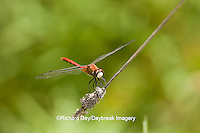 06660-00110 White-faced Meadowhawk dragonfly (Sympetrum obtrusum) male, Jo Daviess Co.,  IL