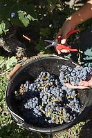 Europe/France/Aquitaine/33/Gironde/Listrac-Médoc:Château Cap-Léon Veyrin Cru Bourgeois de la Famille Meyre - le vignoble détail pied de vigne vendanges du cépage merlot