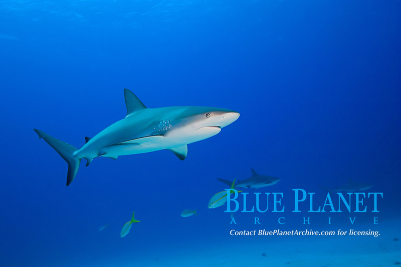 Caribbean reef sharks, Carcharhinus perezii, over coral reef, West End, Grand Bahamas, Atlantic Ocean