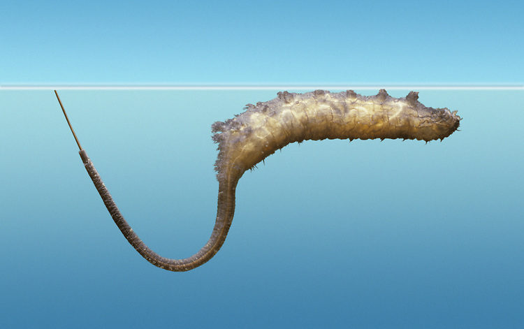 Rat-tailed maggot - Drone Fly larva Eristalis tenax