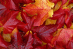 Early morning close-up of leaf patterns maple leaves bright red