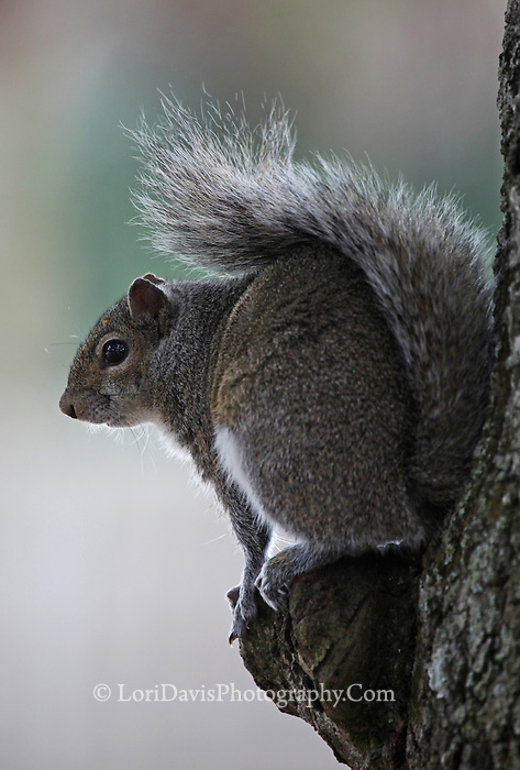 Eastern Gray Squirrel  #W24