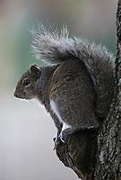 Eastern Gray Squirrel  #W24
