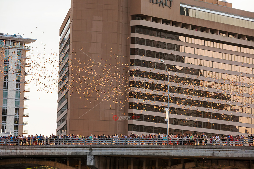 Thousands of tourists watch as streams of Mexican free-tailed bats take flight from the Congress Avenue Bridge. The nightly ritual of the bats emerging from under the Congress Avenue bridge. This is the largest urban bat colony in North America. These bats consume over 30,000 pounds of insects per night.