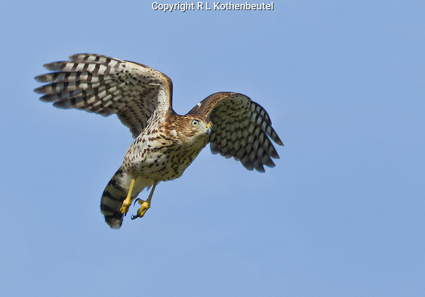 A juvenile Cooper's hawk takes flight against a bright blue sky<br />
