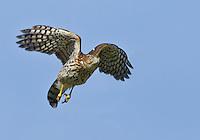 A juvenile Cooper's hawk takes flight against a bright blue sky<br /> Union Bay Natural Area, Seattle, WA<br /> 10/5/2013