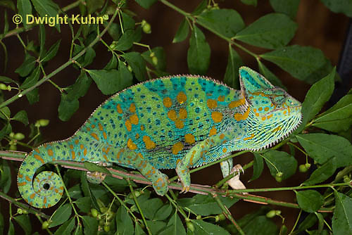 CH39-520z  Female Veiled Chameleon in display colors, Chamaeleo calyptratus