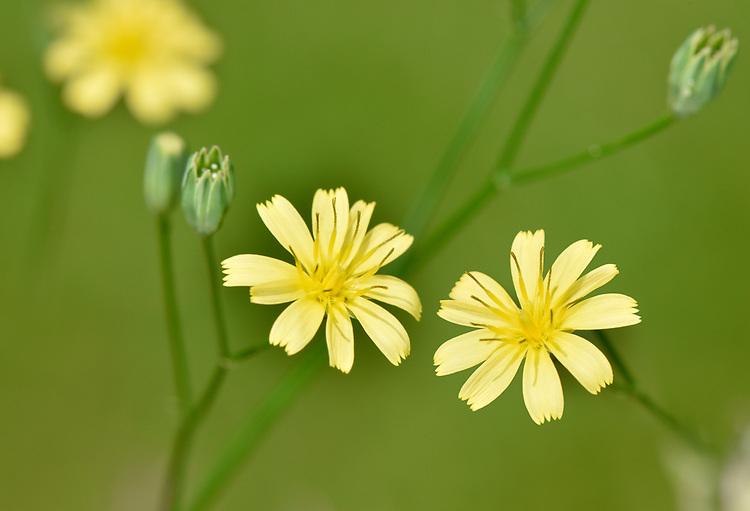 Nipplewort - Lapsana communis