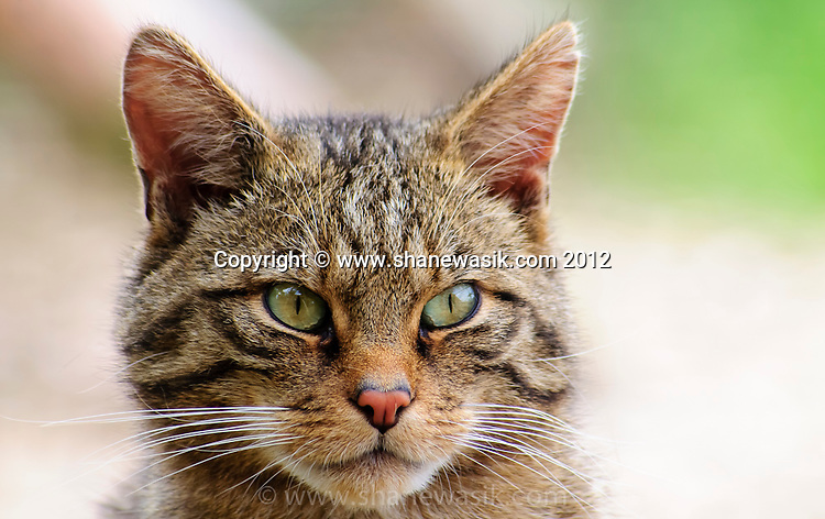 The endangered Scottish Wildcat, known as the Highland Tiger. It is thought that less than 400 pure cats remain in Scotland and are under significant threat.