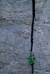Parry primrose (Primula parryi) growing in cracked rock wall, Rocky Mtn Nat'l Park, CO