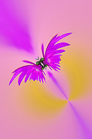 Fantasy Aster flower in autumn, New Hampshire