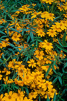Tagetes lemmonii (Mexican Bush Marigold) yellow flowering perennial in garden