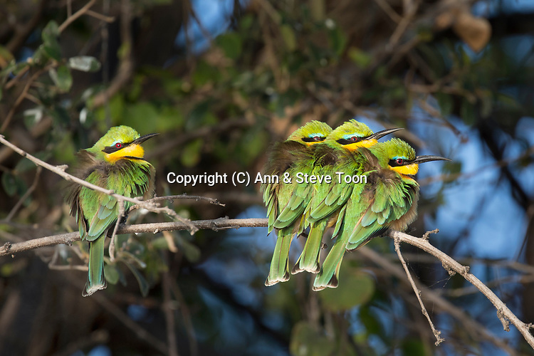 Little bee-eaters (Merops pusillus) basking on cold morning, Chobe river, Botswana, Africa, June 2017