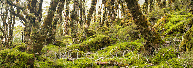 Moss covered beech trees and forest floor on Routeburn Track, Fiordland National Park, Southland, South Island, UNESCO World Heritage Area, New Zealand, NZ