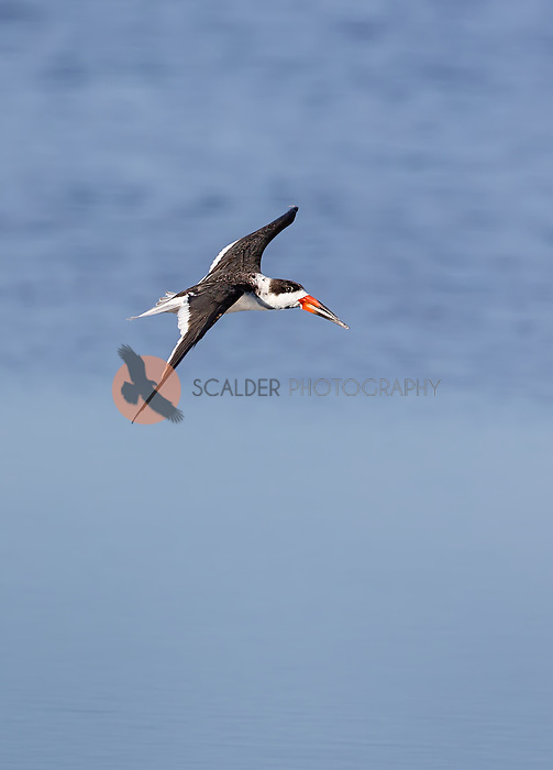 Black Skimmer in flight, banking in a turn, image is vertical