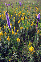 Prairie blazing star and goldenrod, Miri Prairie, Clay County, Iowa, The Nature Conservancy