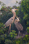 Great Blue Heron  sub adult begging for food at Venice Rookery, FL.