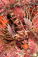 An underwater closeup of a Hawaiian red lionfish or turkeyfish off the Waianae coast of O'ahu.