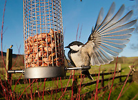Coal Tit (Periparus ater) feeding on peanuts in a bird feeder in a garden, Whitewell, Lancashire.