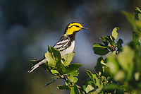 Golden-cheeked Warbler (Dendroica chrysoparia), male in oak tree, Friedrich Wilderness Park, San Antonio, Hill Country, Central Texas, USA