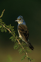 Blue Grosbeak, Guiraca caerulea, immature male on huisache, Starr County, Rio Grande Valley, Texas, USA