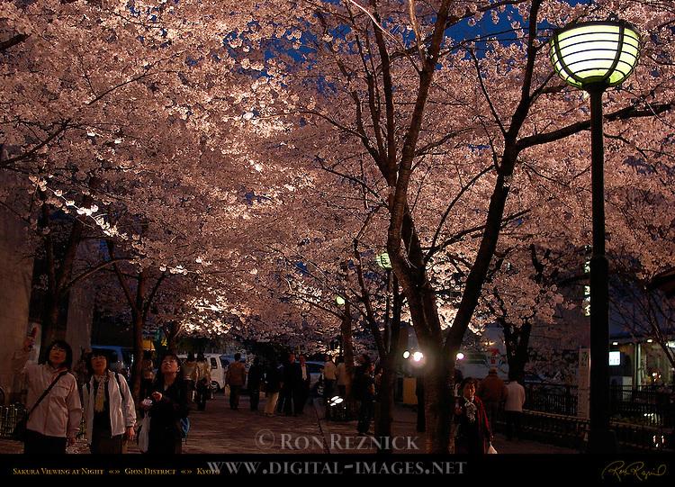 Sakura Viewing at Night Gion District Kyoto Japan