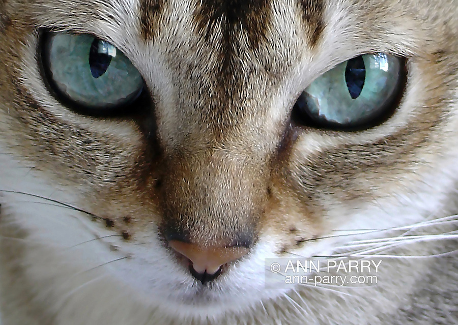 Singapura cat face close-up