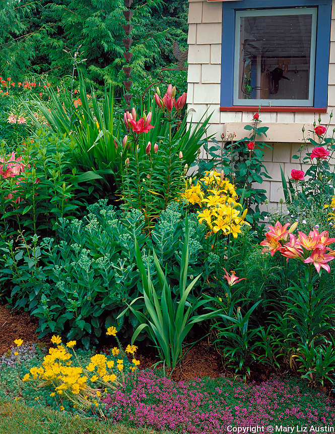 Vashon Island, WA<br /> Summer perennial garden featuring flowering lilies, roses, sedums, and thyme blooming against garden shed