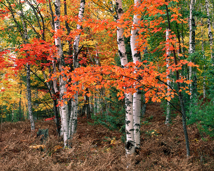 Maple and Birch trees in fall color in the White Birch Forest; Pictured Rocks National Lakeshore, MI
