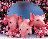 Interlitho, Alberto, ANIMALS, pigs, photos, 3 piglets, roses(KL16246,#A#) Schweine, cerdos