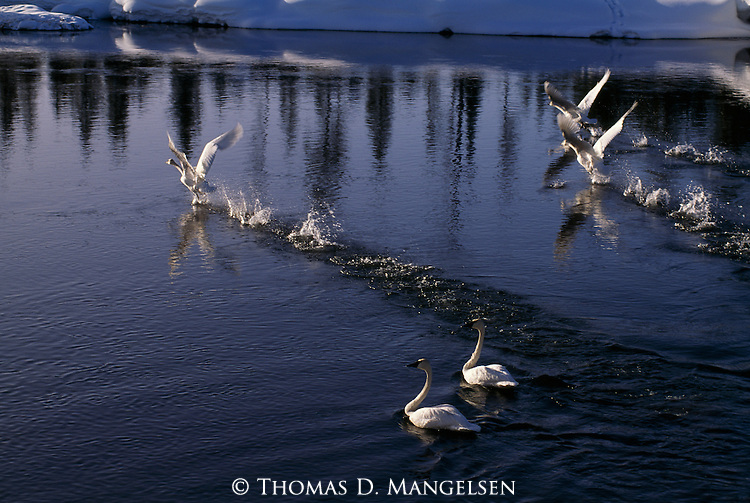 Group of trumpeter swans on lake