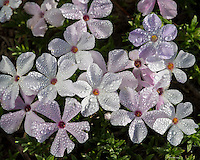 Phlox or spreading phlox (phlox diffusa) covered in dewdrops.  Pacific Northwest.  Common alpine/subalpine wildflower found from British Columbia south to Northern California.