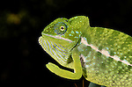Jewel Chameleon, Madagascar